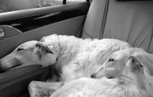 transport et taxi canin